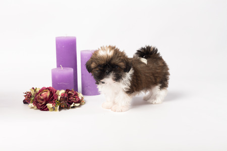 holliday: One cute little shih-tzu puppy with holliday candle isolated on the white background