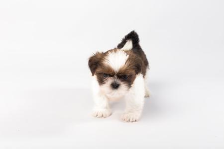 shihtzu: One funny shih-tzu puppy isolated on white background