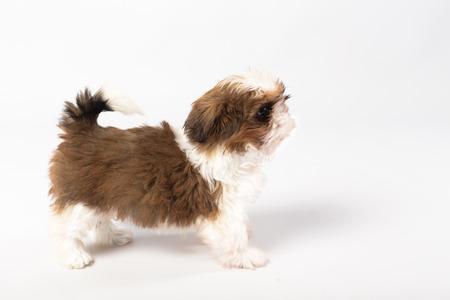 One funny shih-tzu puppy isolated on white background