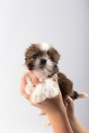 Little cute shih tzu puppy in the womans hand isolated on white background