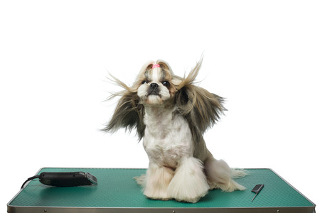 groomer: Beautiful shih-tzu dog at the groomer table with comb and razor with wind in its hair - isolated on white
