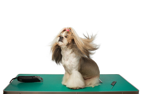 Beautiful shih-tzu dog at the groomer table with comb and razor with wind in its hair - isolated on white