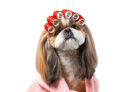 Beautiful funny shih-tzu dog at the groomers table in the studio preparing for the dog show - isolated on white. Best fashion style of the professional groomer care. Stock Photo