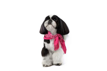 흰색 배경에 고립 휴일 촛불 하나 작은 아름 다운 shih 손자 강아지.