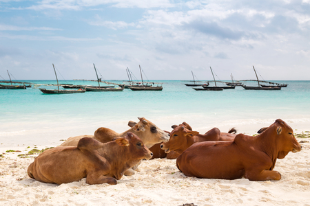 African cows are resting on the beach - Zanzibar, Nungwi.
