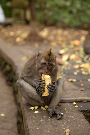 Funny macaque monkeys in the Monkey-forest - travel nature photo. Ubud, Bali, Indonesia Фото со стока