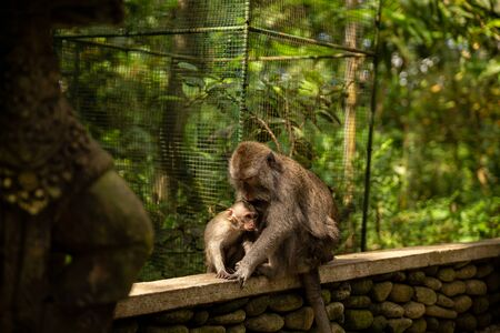 Funny macaque monkeys in the Monkey-forest - travel nature photo. Ubud, Bali, Indonesia Фото со стока - 127591145