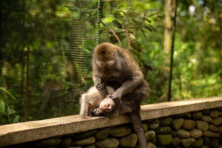 Funny macaque monkeys in the Monkey-forest - travel nature photo. Ubud, Bali, Indonesia Фото со стока - 127591146