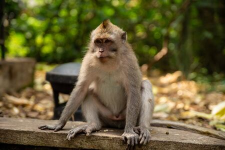 Funny macaque monkeys in the Monkey-forest - travel nature photo. Ubud, Bali, Indonesia Stock Photo