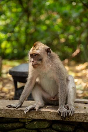 Funny macaque monkeys in the Monkey-forest - travel nature photo. Ubud, Bali, Indonesia Фото со стока - 127591148