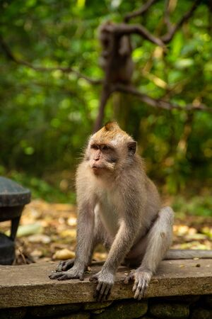 Funny macaque monkeys in the Monkey-forest - travel nature photo. Ubud, Bali, Indonesia Фото со стока - 127591149