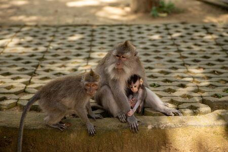 Funny macaque monkeys in the Monkey-forest - travel nature photo. Ubud, Bali, Indonesia 写真素材