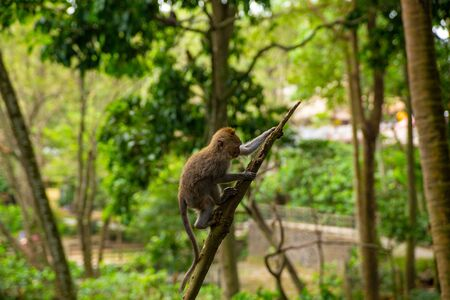 Funny macaque monkeys in the Monkey-forest - travel nature photo. Ubud, Bali, Indonesia Фото со стока - 127591151