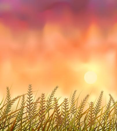 Wild crops field at sunset