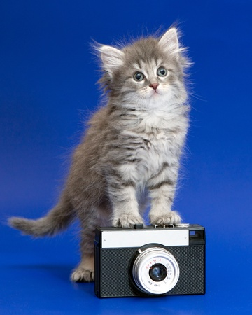 rarity: Gray curiously kitten isolated on blue stands on the rarity camera