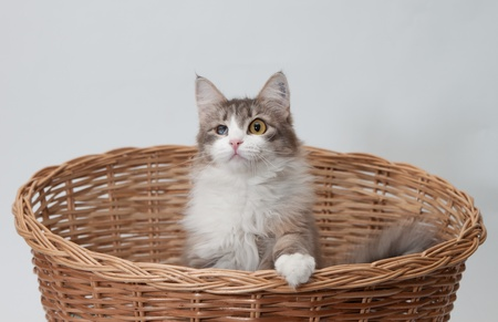 rarity: One-eyed cat in woven basket isolated on white Stock Photo