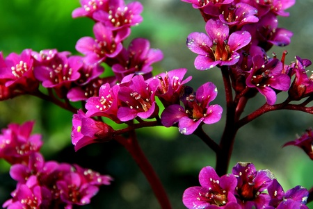 Bergenia Cordifolia Flowers photo
