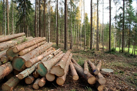 log on: Timber Logging in Forest Stock Photo
