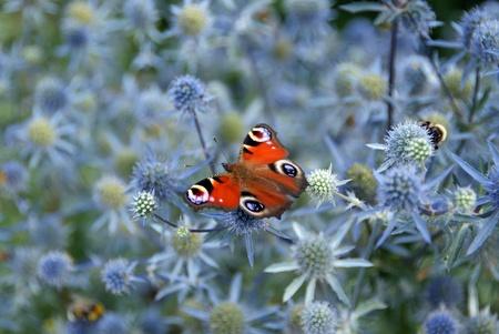 peacock butterfly: Peacock mariposa Inachis io alimentaci�n en Mar del acebo Eryngium Planum