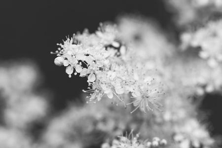 Fondo floral del Filipendula Ulmaria Foto de archivo