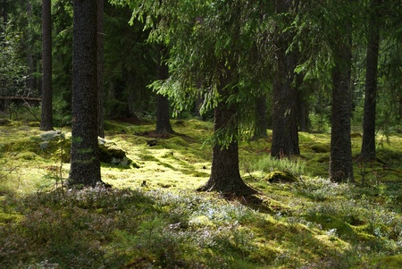 Spruce forest with moss in sunlight. Photographed in Tammela, Finland.