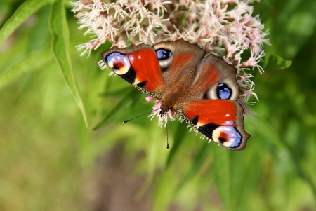 Peacock Butterfly (Inachis io) on Eupatorium cannabinum plant enjoying nectar. photo