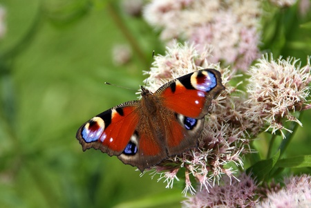 eyespot: Peacock Butterfly (Inachis io) feeding on Hemp Agrimony (Eupatorium cannabinum), a plant which attracts butterflies.