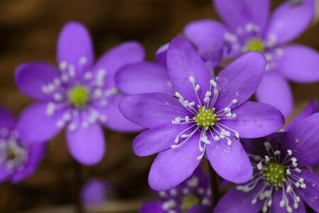 Blue flowers of Hepatica nobilis close up photo