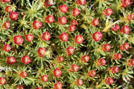 Male reproductive structures of Polytrichum juniperinum moss  Juniper Haircap Moss , they look like red flowers   Stock Photo - 13331307
