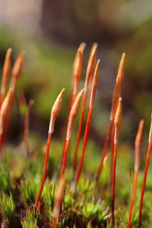 Sporophytes of Juniper haircap moss  Polytrichum juniperinum   Photographed in Mathildedal, Finland April 2012