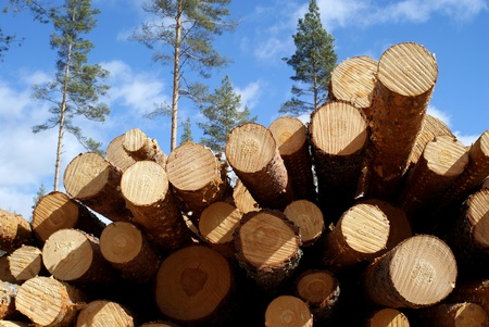 Cut and stacked up pine logs at the edge of pine forest   Standard-Bild