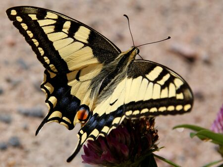 machaon: Swallowtail butterfly  Papilio Machaon