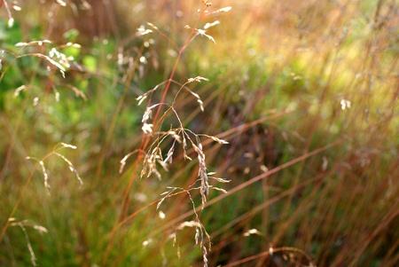 heathland: Deschampsia flexuosa,  Wavy Hair-Grass, growing in dry heathland