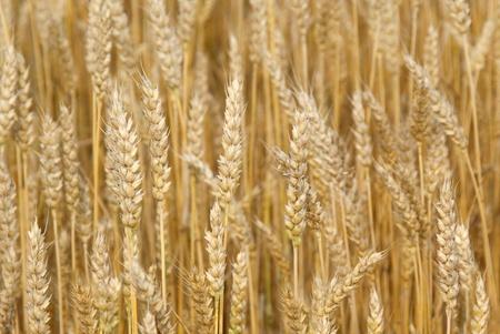 Close up of a ripe, golden wheat field in autumn   Фото со стока