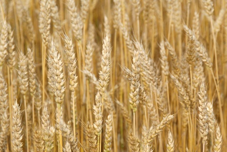 Close up of a ripe, golden wheat field in autumn   Stock Photo