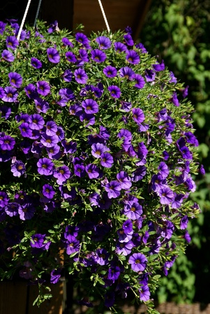 Purple Million Bells, Calibrachoa