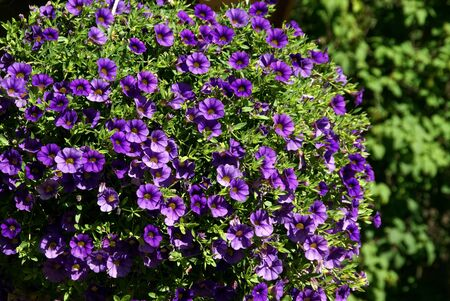Purple Million Bells, Calibrachoa, horizontal view