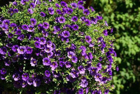 Purple Million Bells, Calibrachoa, horizontal view