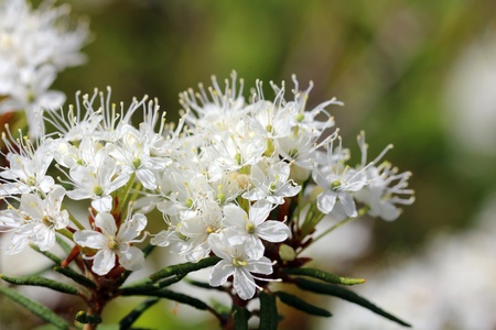 Close up of Rhododendron tomentosum flowers, commonly known as Marsh Labrador tea, northern Labrador tea or wild rosemary, also known as Ledum palustre  Stock Photo