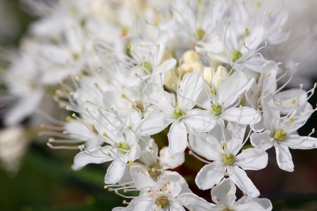 palustre: Background of Rhododendron tomentosum flowers, commonly known as Marsh Labrador tea, northern Labrador tea or wild rosemary, also known as Ledum palustre