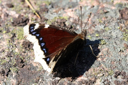 nymphalis: Nymphalis antiopa butterfly, commonly known as Mourning Cloak or Camberwell Beauty, resting on stone  Stock Photo