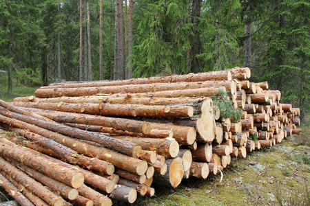 Stack of pine logs in green coniferous forest  Stock Photo