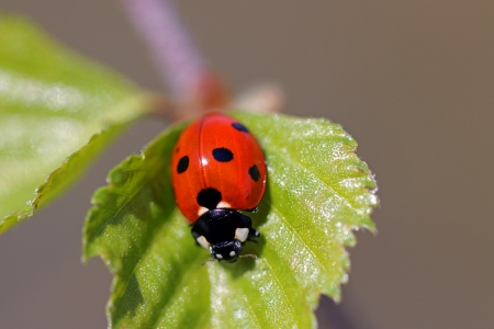 Close up of Seven Spotted Ladybug, Coccinella septempunctata, on a leaf of birch tree   photo
