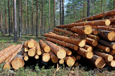 Stack of pine logs in coniferous forest at spring   Standard-Bild