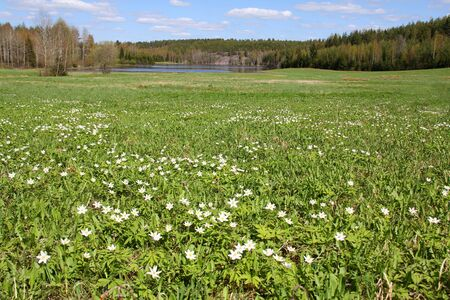 Green meadow with white Windflowers, Anemone nemorosa, at spring  photo