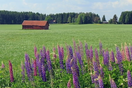 Rural landscape with red barn in the middle of the wheat field with Lupines  Lupinus polyphyllus  on the front   Stock Photo