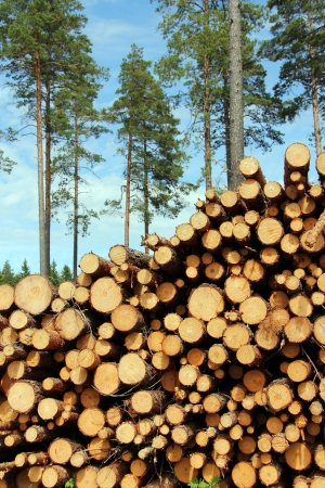High pile of cut wooden logs with pine trees on the background