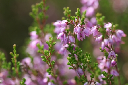 Purple Common Heather  Calluna vulgaris  flowers close up  Suitable for backgrounds   Banco de Imagens