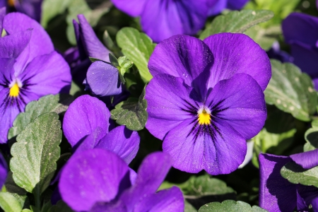 Close up of a group of purple pansy flowers