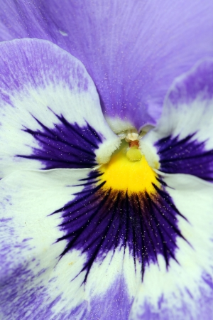 Extreme closeup on a purple, white and yellow pansy flower Stock Photo - 13854064